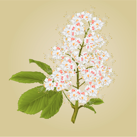 chestnut tree: Chestnut tree flower with leaves vintage illustration