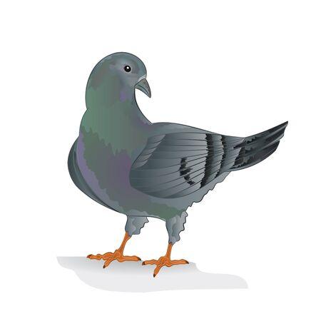 carrier pigeons: Carrier pigeon domestic breed sports bird illustration Illustration