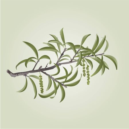 willow: Willow branch with catkins natural background illustration