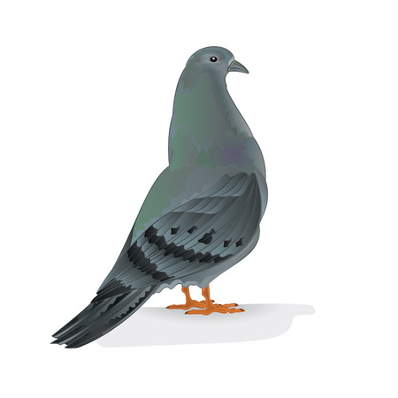 carriers: Carrier pigeon domestic breed sports bird illustration Illustration