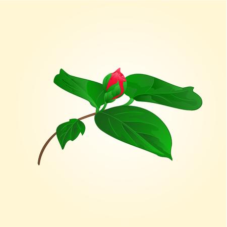 camellia japonica: Flower Camellia japonica flower bud illustration