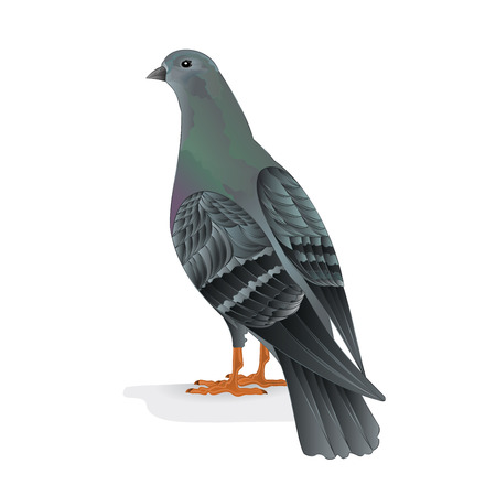 carrier: Bird Carrier pigeon domestic breed illustration