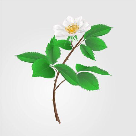 eglantine: Wild rose twig with leaves and flowers illustration
