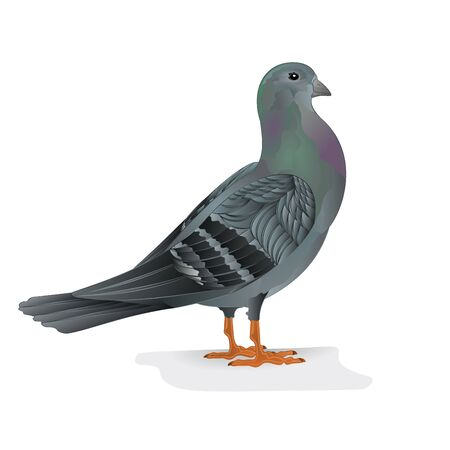 breeding: Carrier pigeon breeding bird sports bird illustration