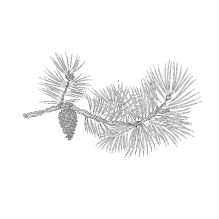 Pine branch and pine cone as vintage engraving natural background illustration Vector Illustration