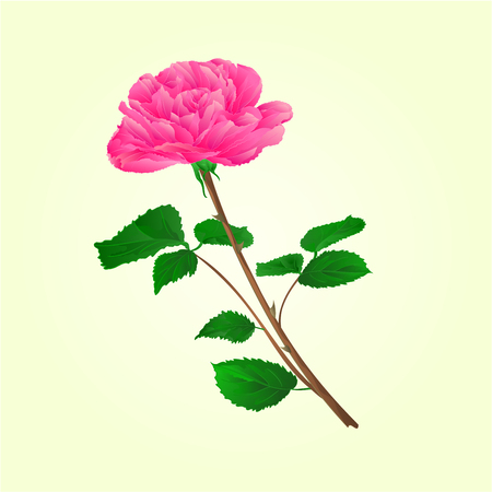 centifolia: Pink rose stem with leaves and blossoms illustration