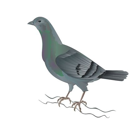 breeding: Carrier pigeon breeding dove sports bird illustration Illustration