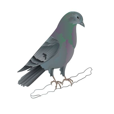 carrier pigeons: Dove Carrier pigeon domestic breed sports bird illustration