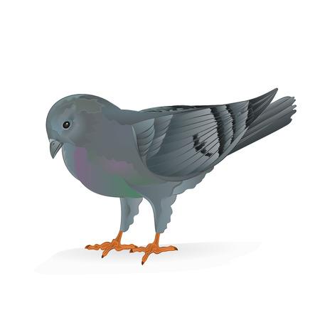 carrier pigeons: Breeding bird Carrier pigeon domestic sports bird vector illustration