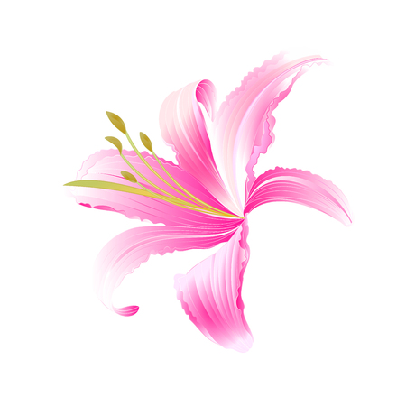 Spring flower Daylily pink Lily  vector illustration