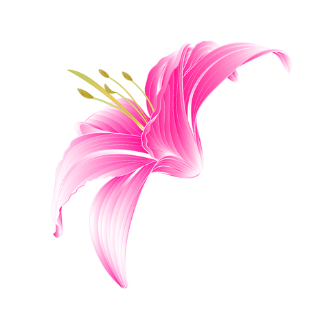 centifolia: Flower Daylily pink Lily  on a white background vector illustration