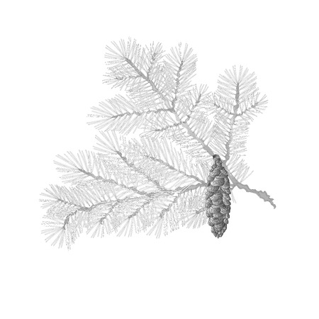 conifer: Spruce branch lush conifer isolated as vintage engraving vector illustration