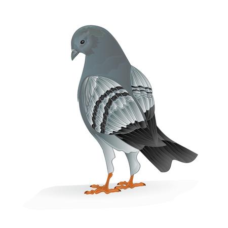 carrier pigeons: Bird Carrier pigeon domestic sports bird illustration