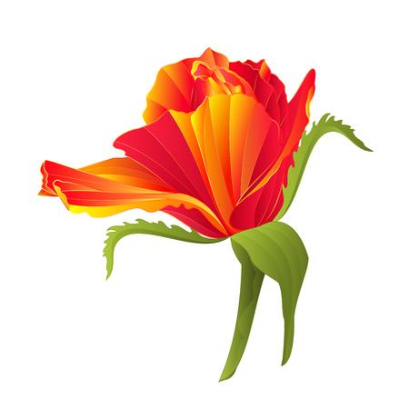 orange rose: Flower orange rose vintage on a white background illustration