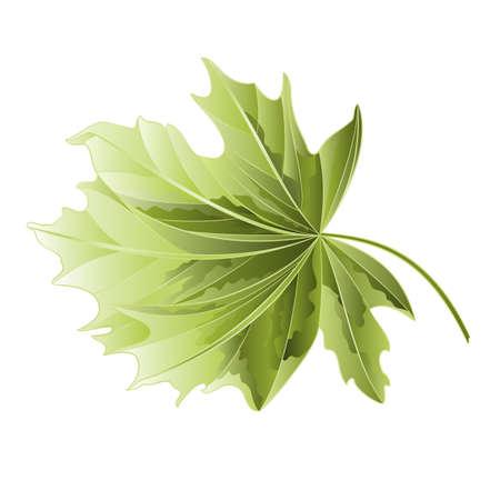 maple tree: Maple tree leaf on a white background illustration Illustration