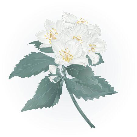 Ramita de jazmín de primavera de flores y capullos de ilustración vectorial de la vendimia