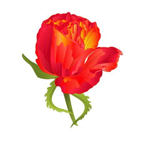 orange rose: Orange rose flower vintage on a white background vector illustration