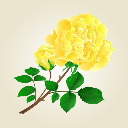 centifolia: Yellow rose and rosebud stem with leaves and blossoms vintage vector illustration