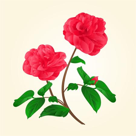 camellia japonica: Camellia Japonica flowers with bud vintage illustration