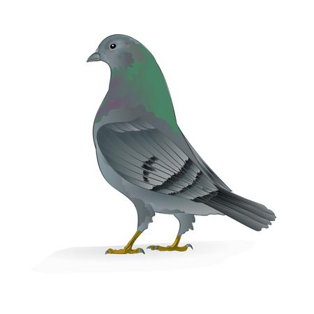 carrier pigeons: Beautiful breeding bird Carrier pigeon domestic sports bird vector illustration