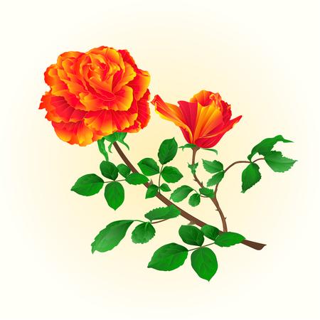 orange rose: Flower orange rose with bud vintage on a white background vector illustration Illustration