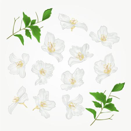 twigs: Jasmine flowers with twigs set vector illustration