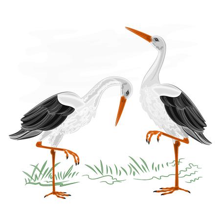 Storks white wild water bird vector illustration Illustration