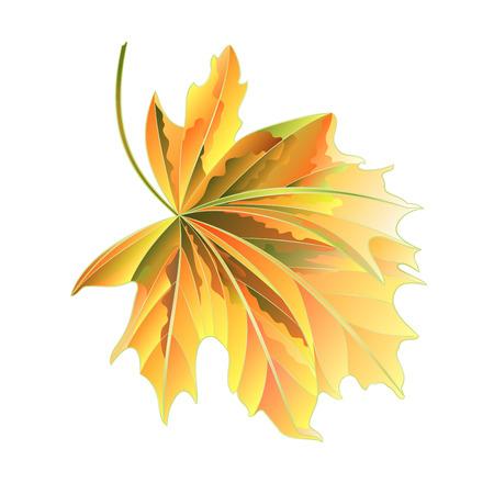 Maple tree autumnal  leaf on a white background vector illustration Illustration