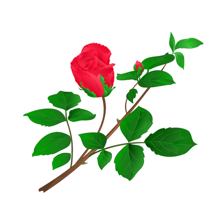 Rosebud red  stem with leaves and blossoms vintage vector illustration