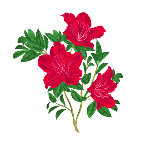 azalea: Red rhododendron twig mountain shrub vintage vector illustration Illustration
