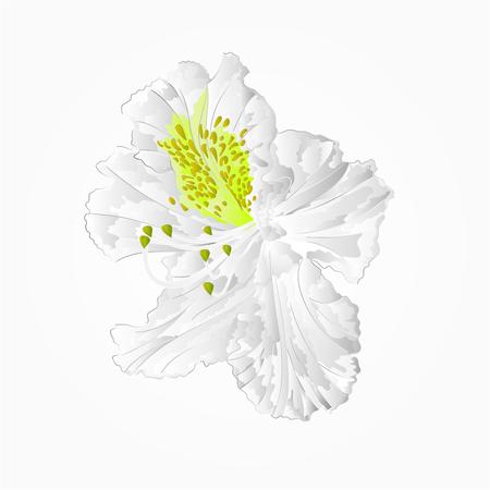 pollinate: Blossoms white rhododendron seventh Mountain shrub vector illustration Illustration