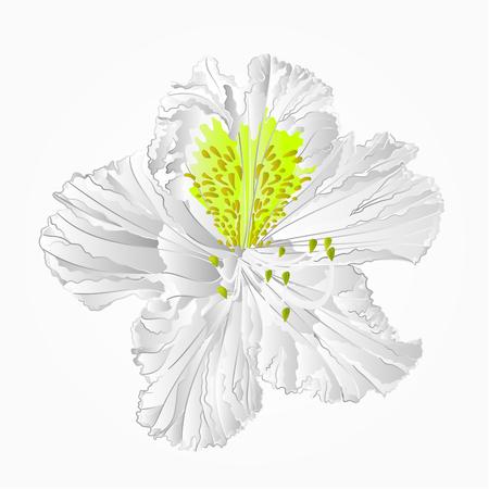 ericaceae: Blossoms white rhododendron shrub illustration.