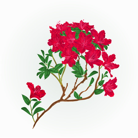 azalea: Red rhododendron branch mountain shrub vintage vector illustration