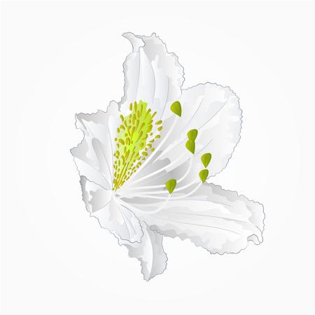 Blossoms white rhododendron nine  Mountain shrub vector illustration