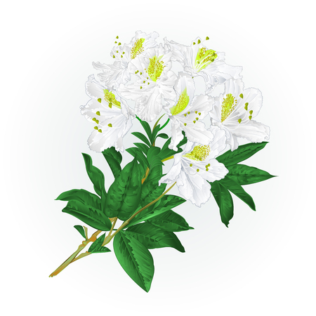 Branch White flowers rhododendron mountain shrub Illustration