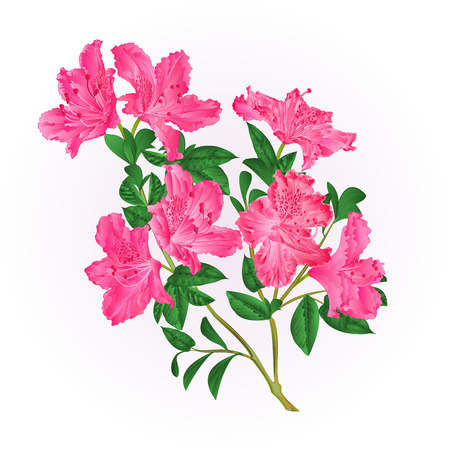 Pink rhododendron twig with flowers and leaves mountain shrub vintage hand draw vector illustration
