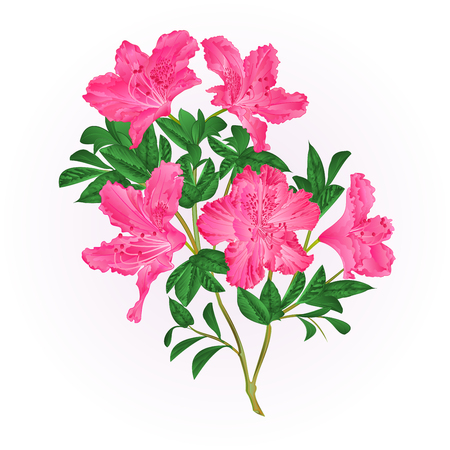 Pink flowers rhododendron twig with leaves mountain shrub vintage hand draw vector illustration