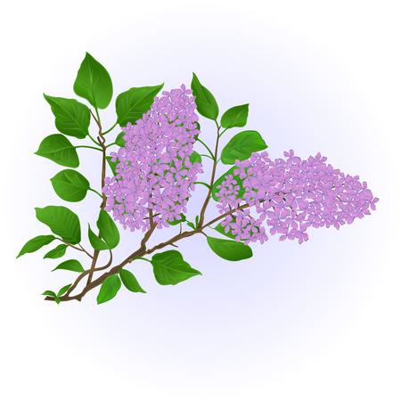 Twig Lilac mit Blumen und Blätter Vintage Hand zeichnen natürlichen Hintergrund Vektor-Illustration