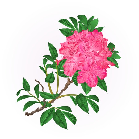 Flowers  pink rhododendron twig Mountain shrub vintage hand draw vector illustration