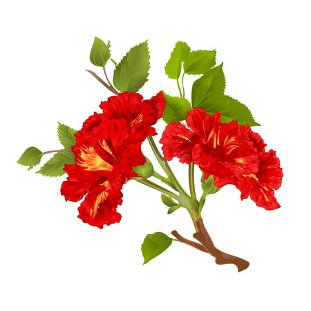 Rama hibisco rojo flores tropicales sobre un fondo blanco cosecha vector ilustración botánica mano dibujar Ilustración de vector