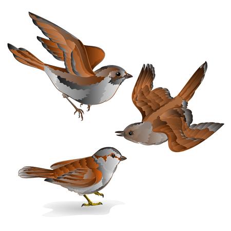 Little birds cub sparrow  passer domesticus vintage set fifth vector animals illustration hand draw