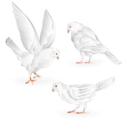 carrier pigeons: Carriers white pigeons domestic breeds sports birds vintage  set seven Illustration