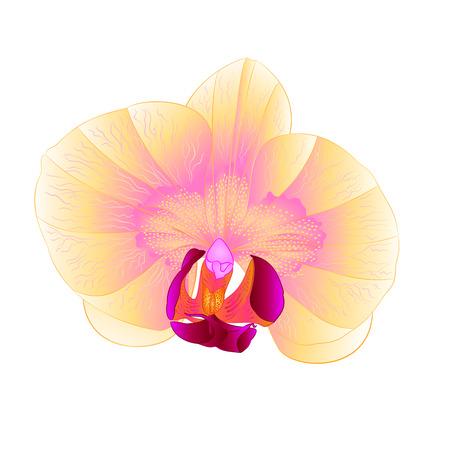 Beautiful  Orchid Phalaenopsis yellow flower closeup isolated vintage  vector illustration. Illustration