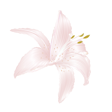 White Lily   Lilium candidum, flower white    vector illustration editable Hand draw Illustration