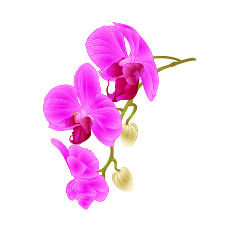 Beautiful  Orchid purple Phalaenopsis stem with flowers and  buds closeup  vintage  vector editable illustration hand draw