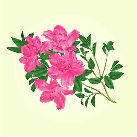 Twig pink rhododendron  with flowers and leaves botanical  vintage vector editable illustration hand draw Çizim