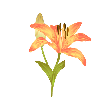 Yellow Lily  a yellow flower and bud with leaves  vector illustration editable Hand drawn