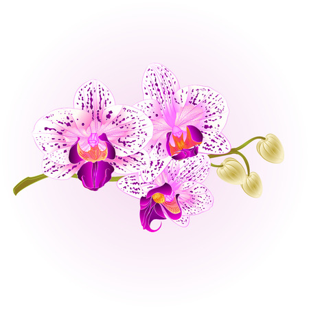 Orchid purple and white Phalaenopsis stem with flowers and  buds closeup  vintage  vector editable illustration hand draw Stock Illustratie