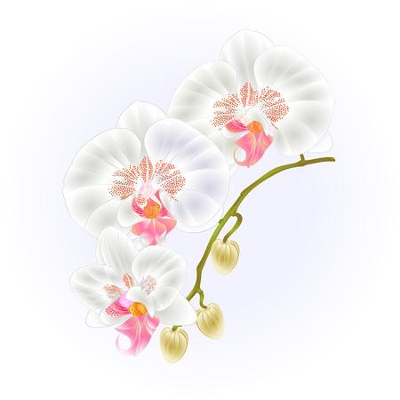 幹蘭コチョウラン白の花し、熱帯植物ビンテージ ベクトル ボタニカル イラスト デザイン手を描くのための芽