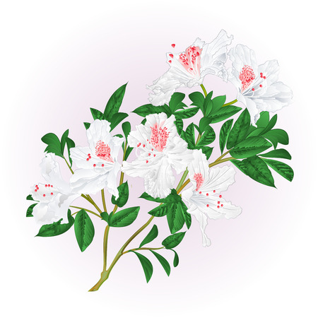 White rhododendron twig with flowers and leaves vintage  vector illustration editable hand draw